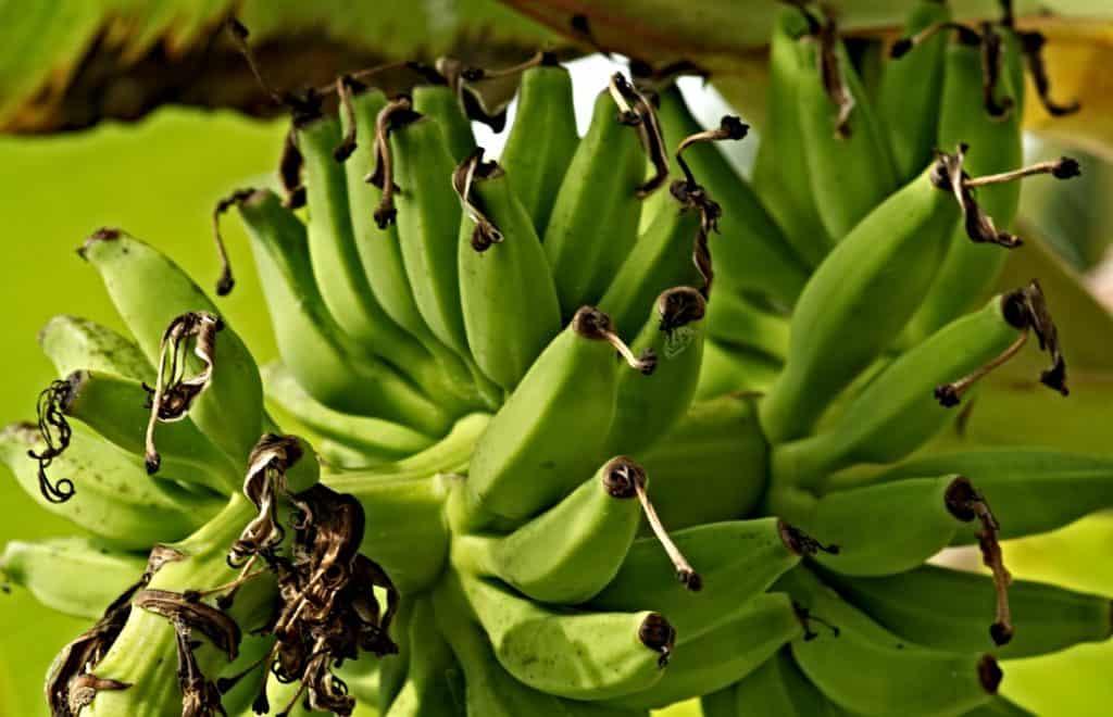bananas on a banana tree