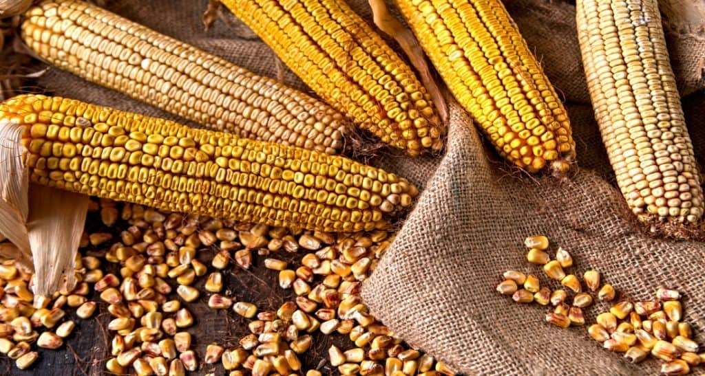 dry corn on the cob and whole kernels