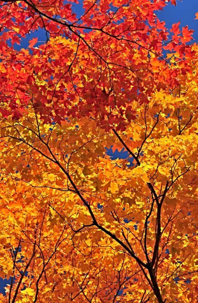 maple leaves on tree
