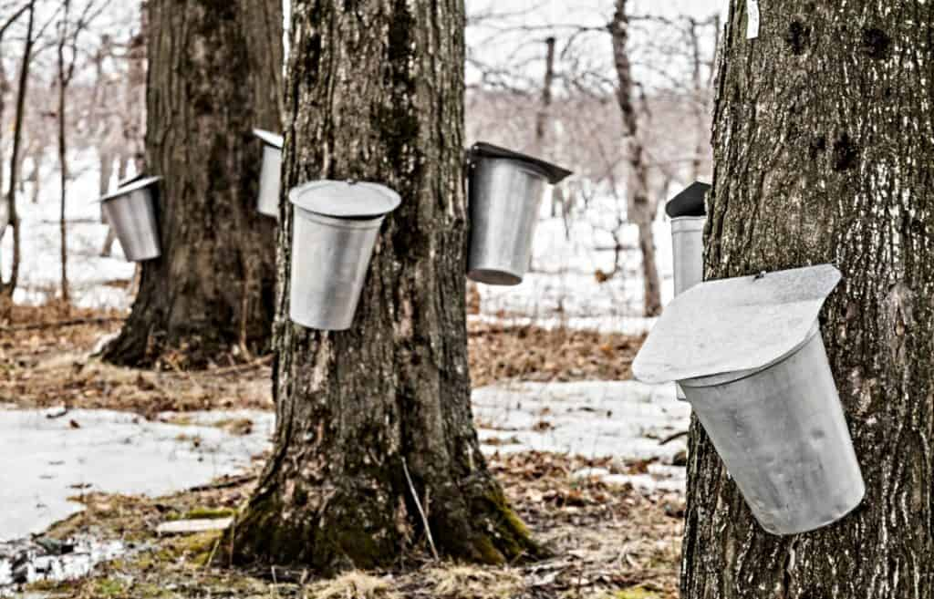maple sap collection buckets on maple trees